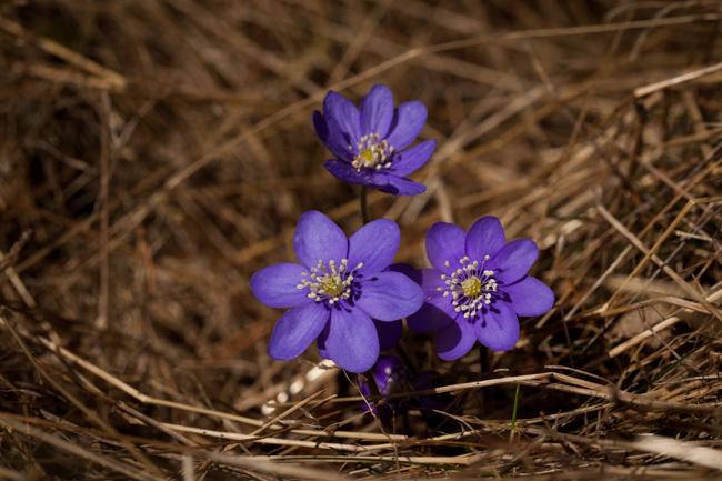 Våren är här och blåsipporna har kommit den 21 april 2013.